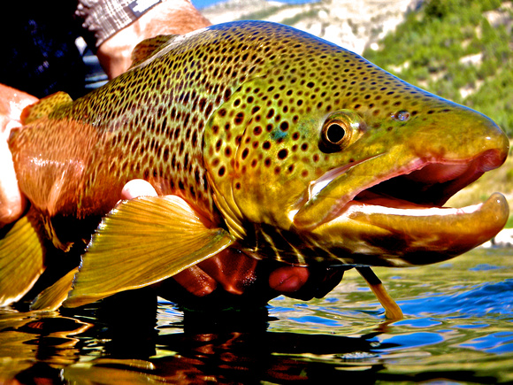 Brown Trout Fly Fishing Wyoming Montana